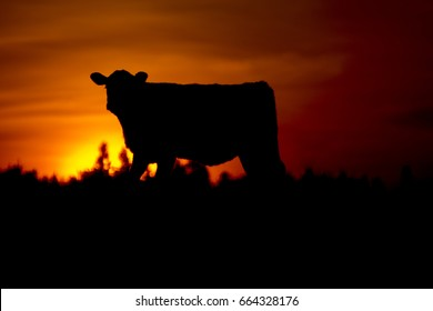 Red Angus Calf Silhouette And Sunset