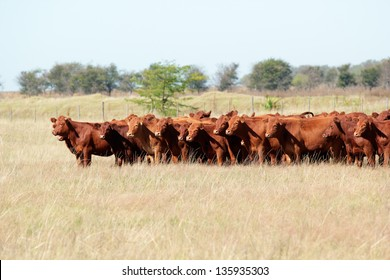 Red angus cattle on pasture