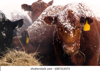 A red Angus cow with snow on her face eating hay in the food line on a cold winter morning.