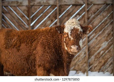 Red Angus and Salers mixed breed Cow Standing Outside in Winter