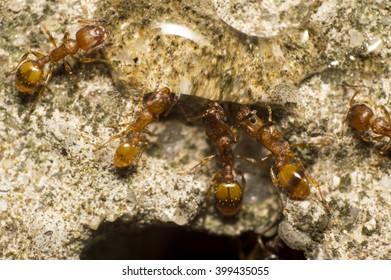 Red ant eating honey