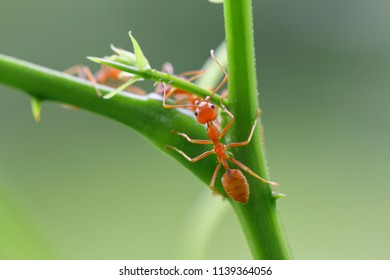 Red ant (Oecophylla smaragdina),Action of ant on a tree branch.