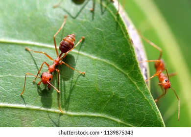 Red ant (Oecophylla smaragdina),Action of ant on a green leaves.