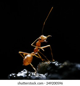Red ant on black background