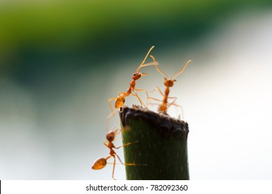 Red Ant on the Branch With blurred background