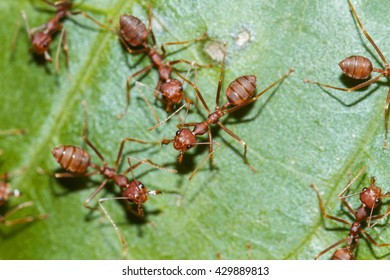 Red ant on a leaf