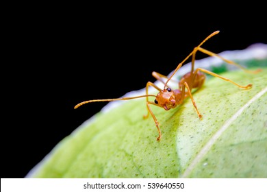 red ant on leaf protect the nest