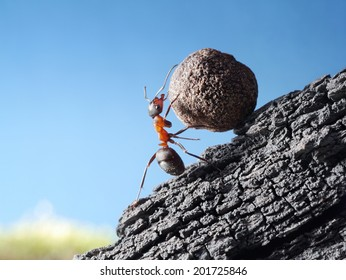 red ant rolls stone uphill