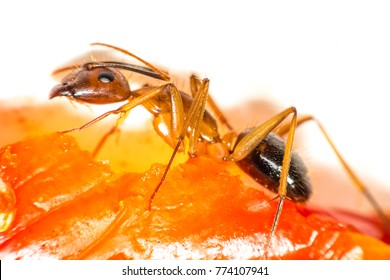 Red ant ,Weaver Ant  are insects in formicidae. Hymenoptera ants have built a large nest.macro insects, (Oecophylla smaragdina)