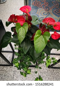 red Anthurium andraeanum flower with leaves,  It symbolizes enthusiasm and hope