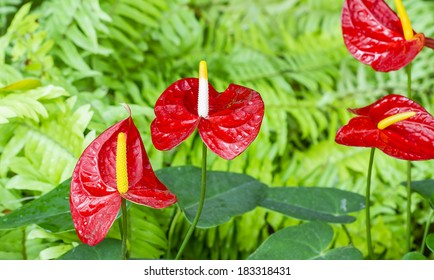red Anthurium flower in botanic garden (Anthurium andraeanum, Araceae or Arum)