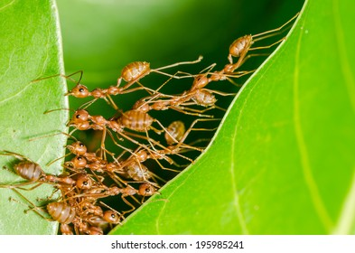 Red ants build home in teamwork power concept