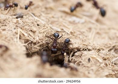 Red ants in desert entering nest