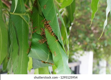 A lot of Red ants let's help together to build their nest by mango's leaves