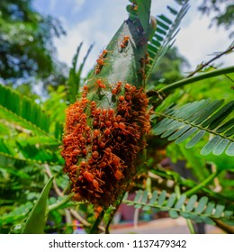 Red ants make nests with leaves