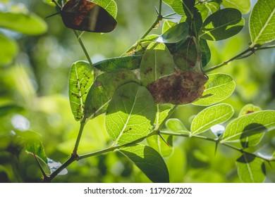A red ants (Oecophylla Smaragdina) nest made from the leaf of a Bengal-Currants, Carandas-plum, Karanda (Carissa carandas)