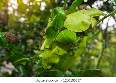 A red ants (Oecophylla Smaragdina) nest made from the leaf of a Kaffir lime, Leech lime, Mauritius papeda, Bergamot (Citrus Hystrix)