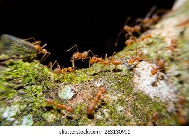 Red ants on the tree with macro lens.