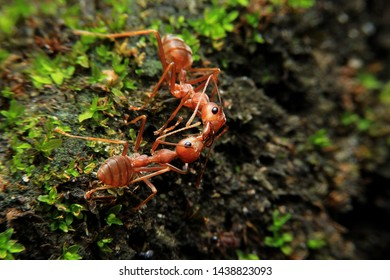 Red ants are taking food in the forest with green moss.