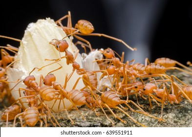 red ants teamwork move for food,Red weaver ants