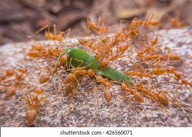Red ants. Red Weaver Ants tearing their prey apart. Red weaver ants.Red weaver ants teamwork.Red ants team work