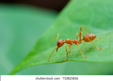 Red ants, Red Weaver Ants walking on leaf