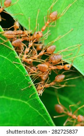 Red ants work as a team to build their nest