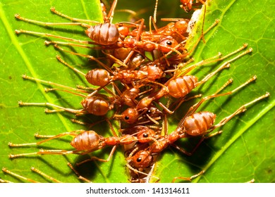 red ants,building ant's nest