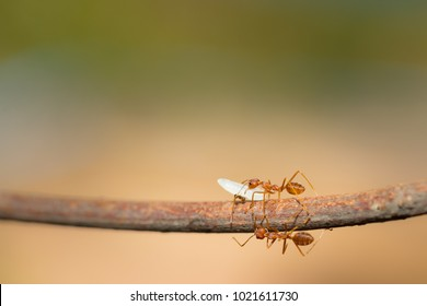 Red ant,Weaver Ants (Oecophylla smaragdina),Action of ant carry food