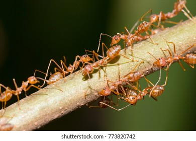 Red ant,Weaver Ants (Oecophylla smaragdina),Action of ant, ant standing