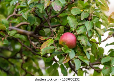 Red apple in among leaves in a crab apple tree. The view is upwards and there's only one apple in the tree. The branches are small wood. The leaves are slightly damaged with dark spots.
