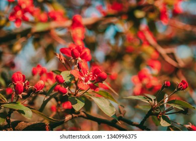 Red apple flowers. Red apple blossom at sunset, close up