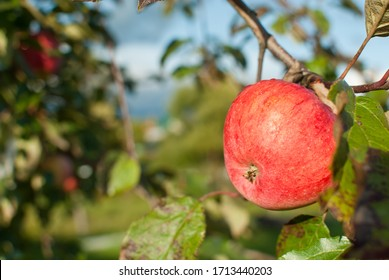 A red Apple growing on a branch