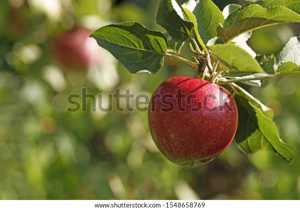 The red apple grows on a branch with fresh green leaves. Bright sunny garden scene, close-up, with a beautiful background bokeh.