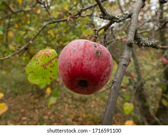 Red apple hanging on a tree in Chernobyl Exclusion Zone. Ukraine