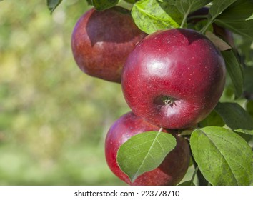 Red apple hanging on the apple tree on a background of green leaves