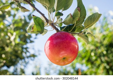 Red apple on apple tree branch
