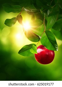 Red apple on a tree in the garden