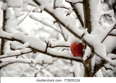 Red apple on tree in the snow