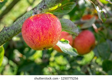 A red apple ripe and ready to eat on a branch