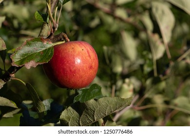 A red apple ripening on a branch