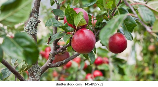 Red apple variety on the fruiting tree - malus domestica red devil in the permaculture forest garden. Small fruits on the lush green trees, fruit ready to harvest.