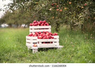 Red apples  in baskets and boxes on the  green grass in autumn orchard.   Apple harvest and picking apples on farm in autumn.