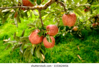 Red Apples are common but are widely accepted by the people all over the world. grown in Shimla, Himachal Pradesh