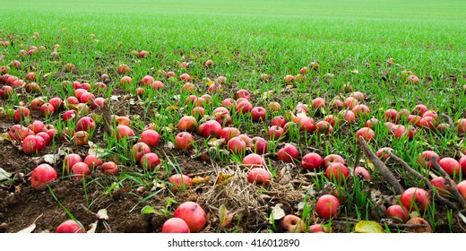 Red apples fallen in the green grass