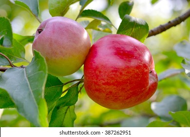 red apples grow on trees