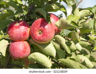 Red apples growing on a branch