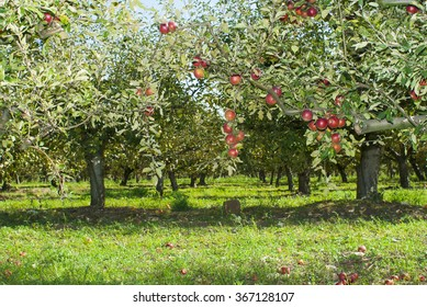 red apples hanging on trees at orchard
