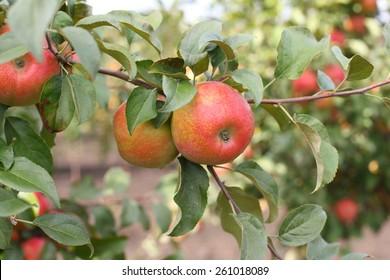 Red apples honeycrisp on apple tree branch