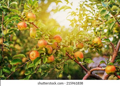 Red apples on apple tree branch, bright rays of the sun